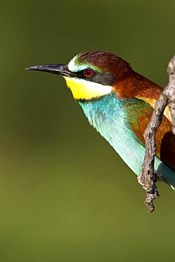 European bee-eater sitting on branch portrait Animals