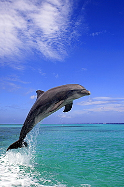 bottle-nosed dolphin bottle-nosed dolphin jumping out of water portrait side view