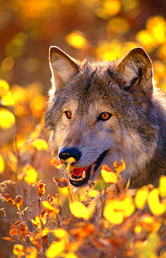 gray wolf North America