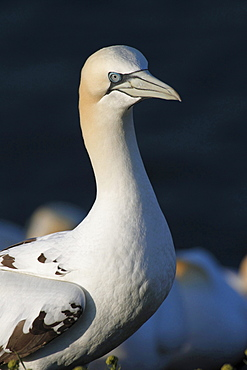 Northern gannet or booby Northern gannet standing on rock in morning light portrait Animals Helgoland North Sea Germany
