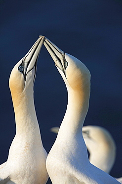 Northern gannet or booby courtship display of Northern gannet sitting on rock Animals Helgoland North Sea Germany