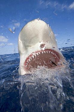 Galapagos shark portrait of shark with head above surface Hawaii