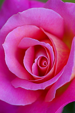 rose 'Audrey Wilcox' detail of red blossom rose garden Beutig Baden-Baden Baden-Wurttemberg Germany