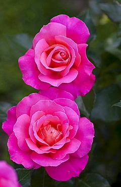 rose 'Audrey Wilcox' red blossoms rose garden Beutig Baden-Baden Baden-Wurttemberg Germany