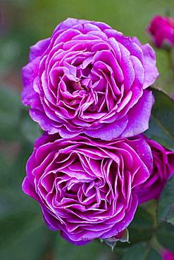 rose 'Old Port' lilac blossom rose garden Beutig Baden-Baden Baden-Wurttemberg Germany