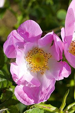 Rosa paulii 'Rosea' pink blossom rose garden Beutig Baden-Baden Baden-Wurttemberg Germany