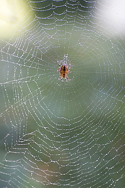 orb-weaver on spider web