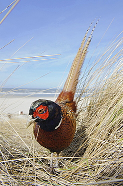 ring-necked pheasant male pheasant in grass on beach portrait