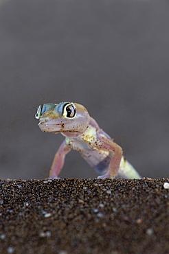 Palmatogecko Palmato Gecko Pachydactylus rangei Namibia Africa Animals