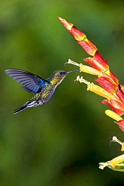 Green-crowned Woodnymph hummingbird heading for blossom side view Ecuador South America Animals