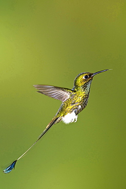 Booted Racket-tail hummingbird in mid-air side view Tandayapa Reserve Ecuador Ecuador South America Animals