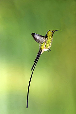 Black-tailed Trainbearer hummingbird in mid-air side view Ecuador South America Animals
