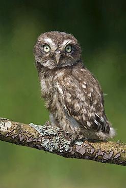 little owl little owl sitting on branch portrait Germany