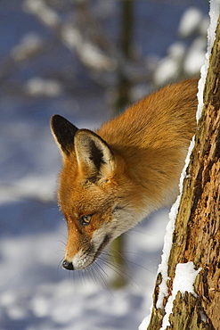 red fox or European fox red fox in winter portrait