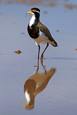 banded lapwing banded lapwing in water portrait Sturt Nationalpark New South Wales Australien