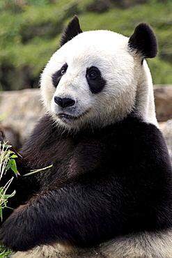 giant panda giant panda sitting eating portrait Zoo Adelaide Australien