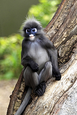 dusky leaf monkey or spectacled langur adult male leaf monkey sitting on tree trunk portrait Asia