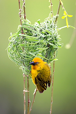 Cape weaver Cape weaver building on nest portrait Stellenbosch Sudafrika Afrika