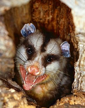 white-eared opossum portrait opossum in tree hole Uruguay South America