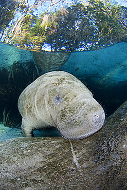 Florida manatee A curious young Florida Manatee Trichechus manatus latirostris peeks over it's mothers back at Three Sisters Spring in Crystal River Florida USA The Florida Manatee is a subspecies of the West Indian Manatee