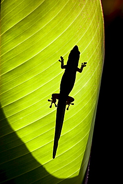 gold dust day gecko silhouette of a day gecko backlit on a ginger leaf Hawaii