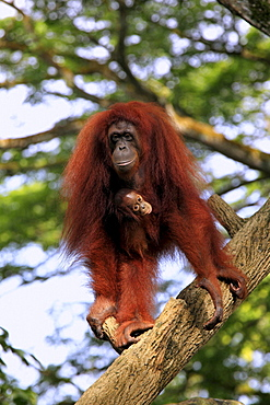 orang utan female Orang utan with young climbing on tree trunk portrait Asia