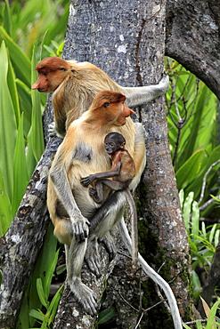 proboscis monkey female proboscis monkey with young sitting on arial root portrait