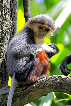 douc langur young douc langur sitting on branch portrait Asia
