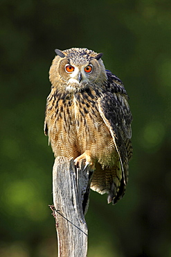 eagle owl Eagle owl sitting on wooden stump portrait front view Germany