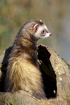 European polecat European polecat sitting on tree stump portrait