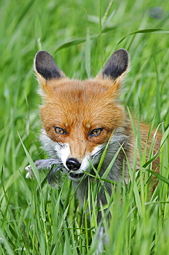red fox or European fox red fox sitting in meadow eating prey head portrait