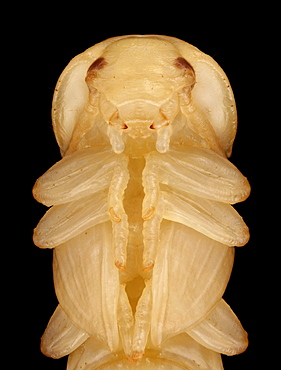 mealworm beetle pupal stage Germany Europe