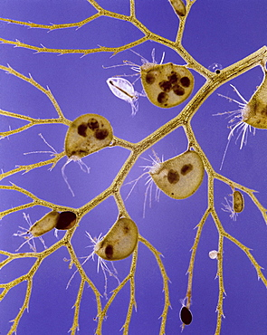 common bladderwort bladderwort is a carnivorous aquatic plant which captures small organisms by means of bladder-like traps on its submerged parts These bladder traps are considered to be one of the most sophisticated structures in the plant kingdom