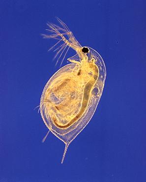 common water flea water flea