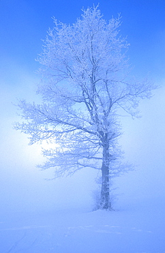 lime or linden tree in snow winter fog
