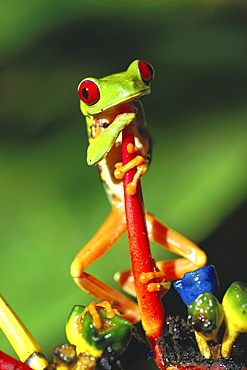 orange-eyed tree frog or red-eyed tree frog