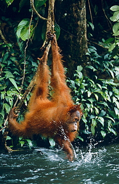 orang utan hanging over brook playing