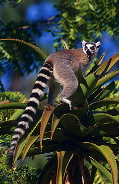 ring-tailed lemur lemur sitting