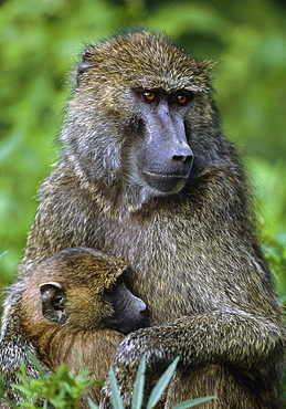 olive baboon or anubis baboon