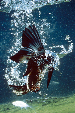 kingfisher hunting prey in water - 869-5152
