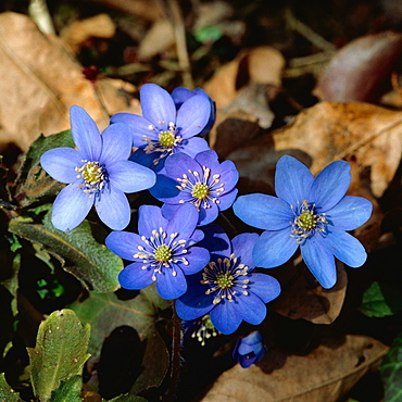 common hepatica or liverwort hepatica or wild anemone (Hepatica nobilis syn. Anemone hepatica Hepatica nobilis oder Anemone hepatica)