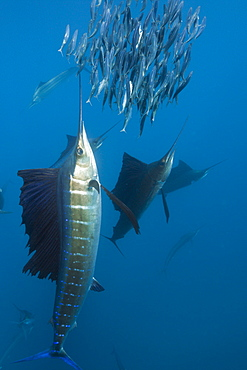 Atlantic sailfish Atlantic sailfish hunting prey sardines Mexico (Istiophorus albicans)