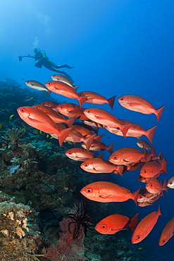 small mouth snapper or pinjalo snapper group swarm of pinjalo snapper swimming over coral reef (Pinjalo lewisi)