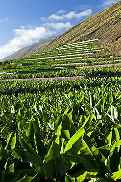 banana banana plantation on slope of volcano outdoors Caserio San Antonio Pueblo Fuencaliente Isla La Palma Santa Cruz Province Canary Islands Spain Europe (Musa)