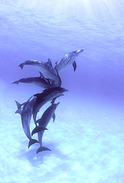 Atlantic spotted dolphin group fighting for dominance underwater Bahamas
