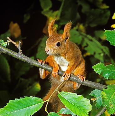 red squirrel red squirrel sciurus vulgaris female standing on branch (Sciurus vulgaris)