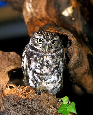 little owl little owl athene noctua adult standing on branch (Athene noctua)