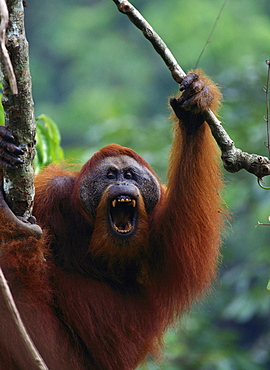 Sumatran orang utan male climbing on branch with mouth opened calling or threatening
