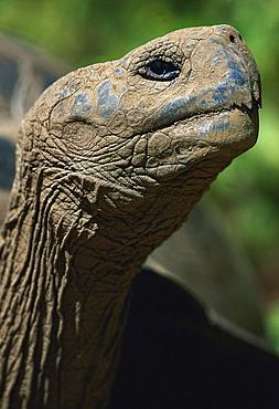 Galapagos tortoise giant tortoise giant tortoise