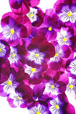violet pansy group of purple white and yellow flowers overlapping each other vertical format background white